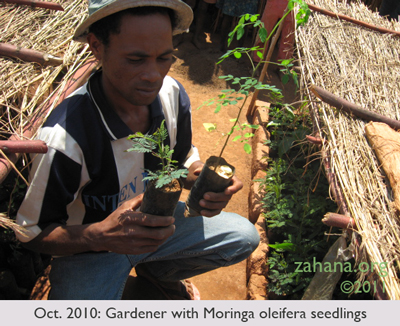 July 2010: Zahana's Gardner rowing Moringa oleifera seedlings