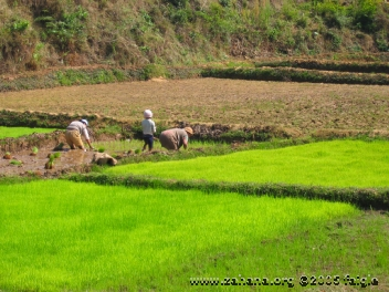 Planting rice in madagascar ina new paddy